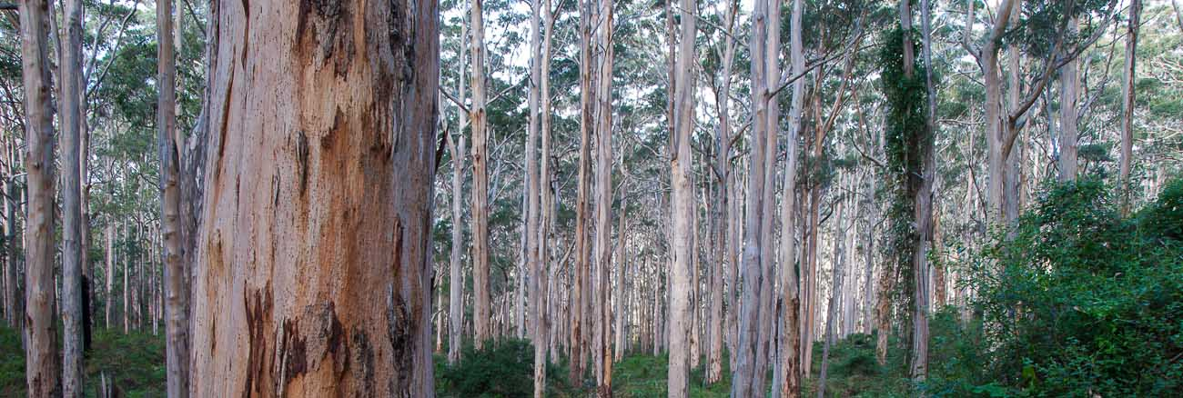 Karri Trees. 5 southern towns in the Margaret River Region