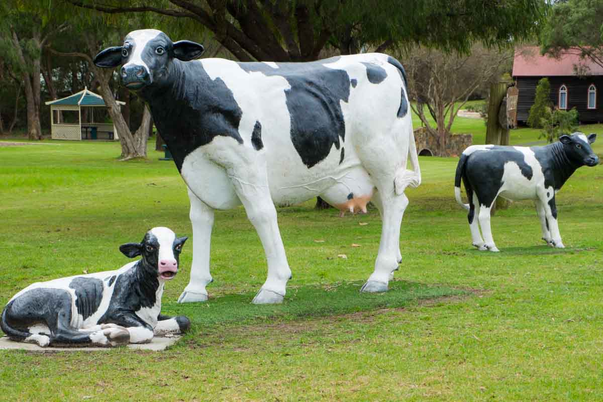 Cow family in Cowaramup! 5 northern towns in the Margaret River Region