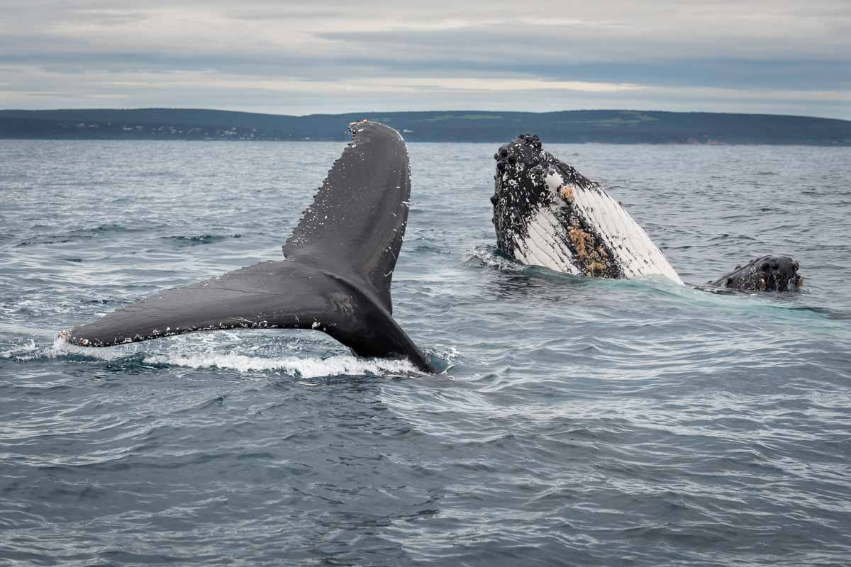 Humpback Whales in Geographe Bay