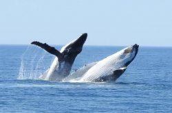 Whale watching with Legend Charters
